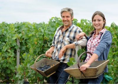 Bringing the grapes during the harvest in Bordeaux